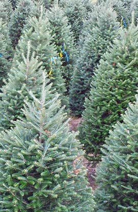 f08387e6696 Sibgo Tree Company Wholesale Christmas Trees. The Fraser-Balsam Cross Fir