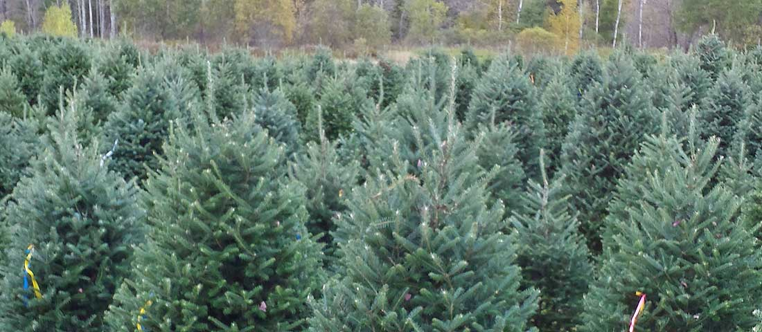 3fe65d3e99d Wholesale Christmas Trees - Sibgo Tree Company  High Quality ...